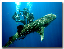 A whale shark above the torpedo wreck