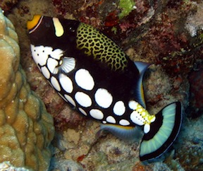 712921-Clown-trigger-fish-0