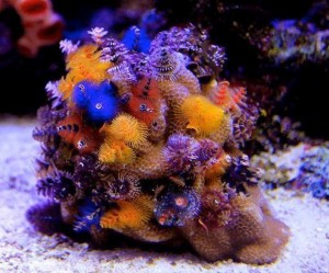 christmas-tree-worm-rock-porites1