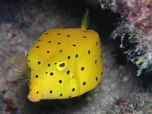 yellow_boxfish